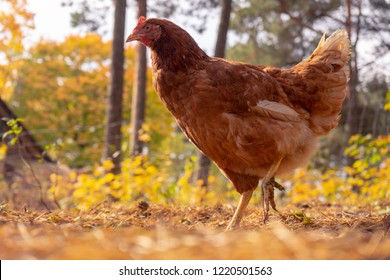 Ecological farming. Free range egg production. Happy chicken in a wild nature with a soft yellow light. Biodynamic farm.