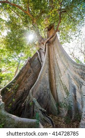 Ecology concept: giant banyan mahogany tree in forest of Lombok island, Indonesia