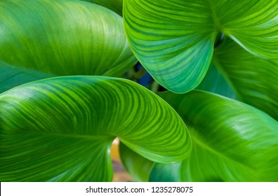 Ecology Concepts, Background of Green Leaves Textured or Green Bush of Elephant Ear or Colocasia Plants in A Garden.
