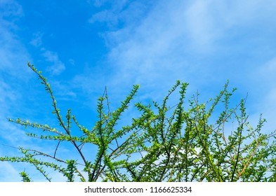 Ecology Concepts, Crescentia Cujete or Calabash Tree Branches with Fresh Green Leaves Against on Blue Sky with Tiny Clouds in A Sunny Day.