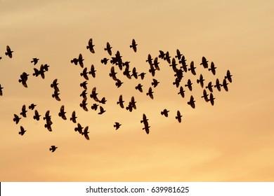 economic and efficient aerodynamic flocking behavior