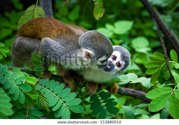 ecuador amazon animal rainforest forest kiss wildlife squirrel monkey wild mammal monkey from the river rain forest in ecuador ecuador amazon animal rainforest forest kiss wildlife squirrel monkey wil