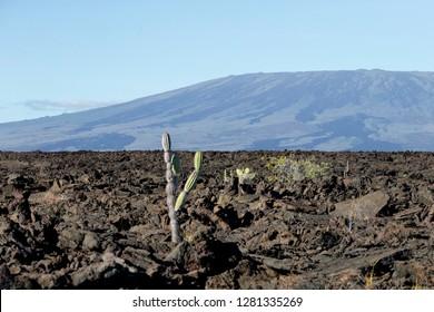 Ecuador, Galapagos Islands, Isabela, Punta Moreno, candelabra cactus (Jasminocereus thouarsii). Lava field landscape with candelabra cactus.