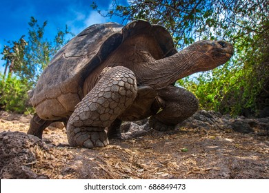 Ecuador. Galapagos Islands. Galapagos tortoise stands on legs.