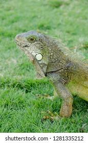 Ecuador, Guayaquil. Parque Seminario  Common Iguana aka Green Iguana (Iguana iguana).