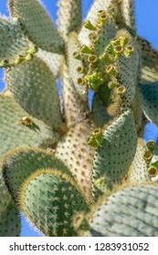 Ecuadorian cactus from the Galapagos Islands with flowers - Opuntia galapageia