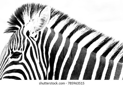 Eddie the Zebra