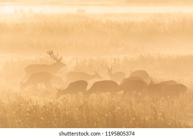 Edelherten (Red deers) in autumn
