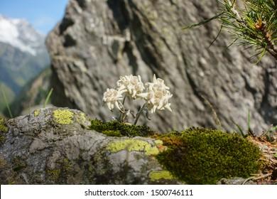 Edelweiss alpine flower on rock