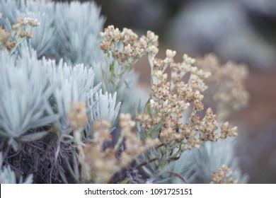 edelweiss flower , bunga edelwis diatas gunung, top of mountain
