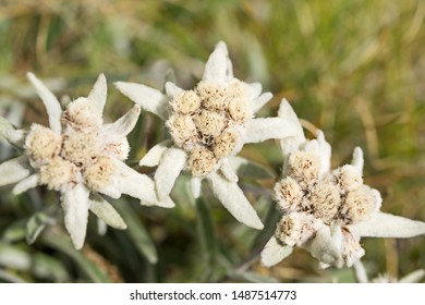 Edelweiss flowers close-up: Stella Alpina, photo of a rare mountain flower taken in Gran Paradiso National Park, italian alps. Italy.  focus on foreground