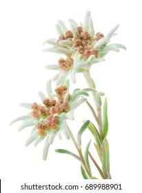 Edelweiss flowers isolated over white. Leontopodium alpinum