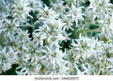 Edelweiss flowers from italian Alps, top view