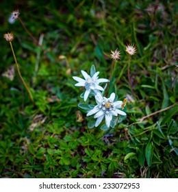 Edelweiss flowers in Julian Alps