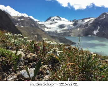 Edelweiss flowers with Lake of Sabbioni and Arbola Peak in the background, Formazza Valley, Italian Alps