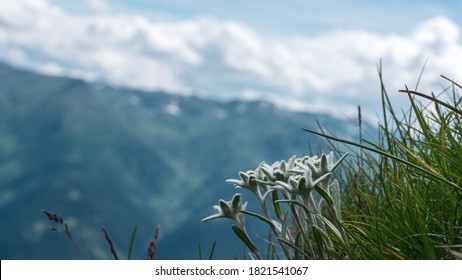 Edelweiss flowers in the mountains