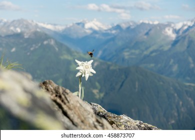 Edelweiss with flying bee