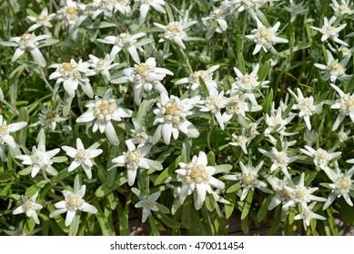 edelweiss - mountain flowers