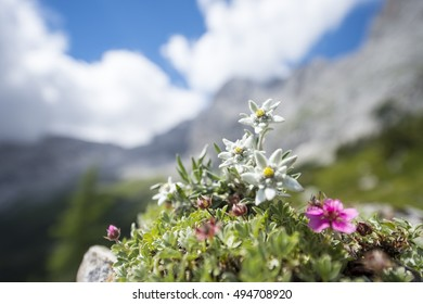 Edelweiss in the mountains