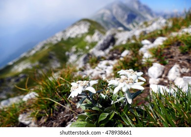 Edelweiss with mountains in background