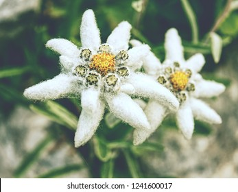 Edelweiss in nature. Rare alpine flower on wild mountain meadow