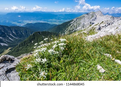Edelweiss on the meadow on top of Vrtaca mountain with a view Stol mountain in the summer, Slovenia
