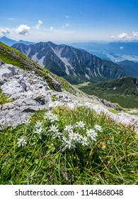 Edelweiss on a meadow on top of Vrtaca mountain with a view Begunjscica mountain in the summer, Slovenia
