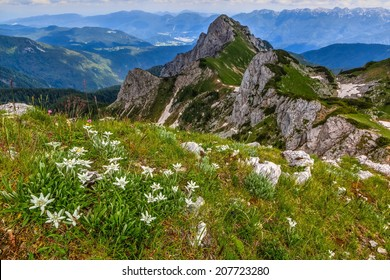 Edelweiss on a meadow with a view of Jezerski Stog mountain in the background in Triglav national park in the summer, Slovenia