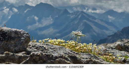 edelweiss on a rock in the alps as a panorama