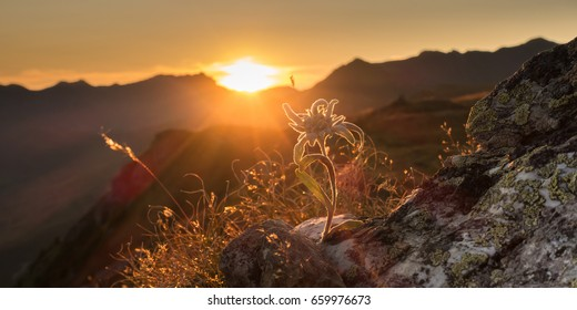 Edelweiss on rock in the evening sun in the Alps as a panorama