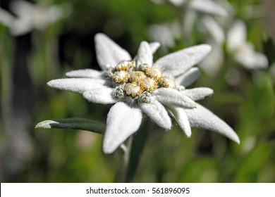 Edelweiss - protected mountain plant, rare flower.