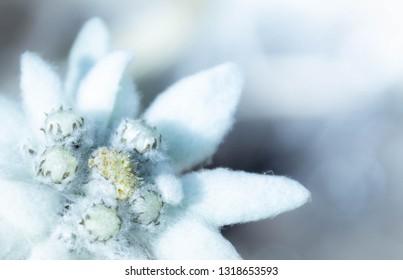 Edelweiss, a rare but beautiful flower - Switzerland