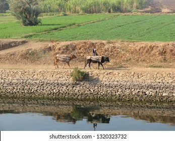 EDFU, EGYPT-JAN. 12, 2009:  Approaching Edfu, an Egyptian farmer waves to passing tourists as he walks with his cows along the banks of the Nile River.