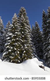 Edge of a fir forest, with snow-covered ground and spruce in the italian alps. Spruce is the traditional Christmas tree.