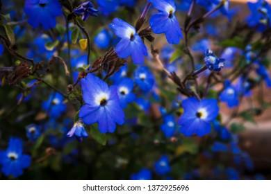 Edging Lobelia (Lobelia erinus), beautiful blue flower blooming in garden