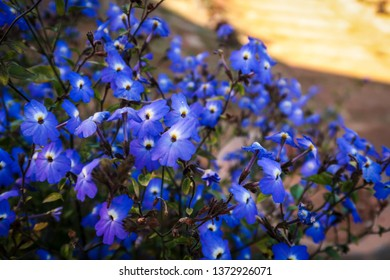 Blue Lobelia Images Stock Photos Vectors Shutterstock