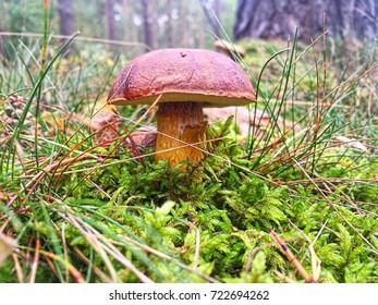 Edible bay bolete wild mushroom
