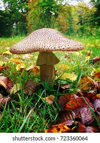 Edible blusher mushroom on a lovely sunny autumn day