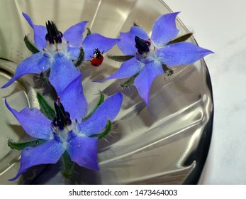 Edible borago plant with Coccinellidae on a brown glass saucer close-up