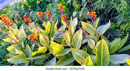 Edible canna flowers garden image