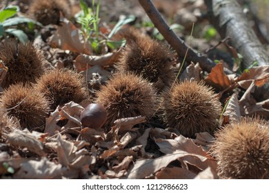Edible chestnuts on the ground among the dry foliage in the forest in autumn
