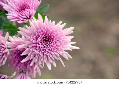 """Edible chrysanthemum. It is called """"Shokuyou giku"""" in Japan. Shokuyo-giku is a kind of chrysanthemum which is especially grown as food."""