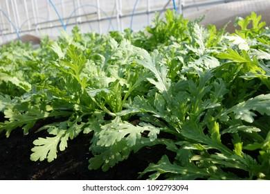 Edible chrysanthemum on the vegetable field