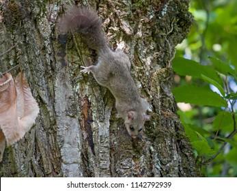 Edible dormouse or fat dormouse (Glis glis) in the forest