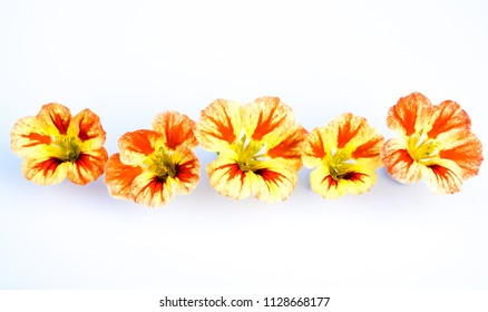 Edible flowers isolated on white background: yellow, orange, red variegated Nasturtium blooms - Tropaeolum in a row