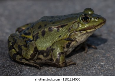 Edible frog Pelophylax esculentus Rana esculenta in germany