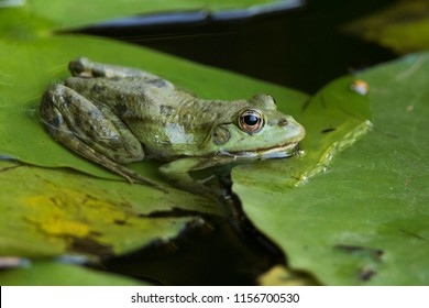 edible frog (Pelophylax kl. esculentus) is a name for a common European frog, also known as the common water frog or green frog
