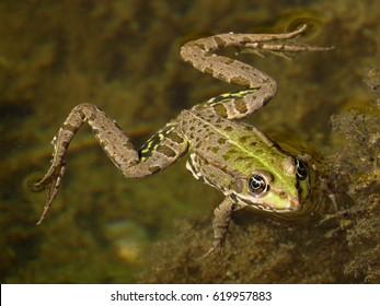 Edible frog (Rana esculenta, Pelophylax kl. esculentus)