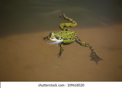 Edible Frog (Rana esculenta) swimming in the water