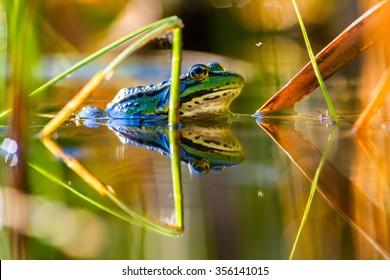 Edible frog in water.